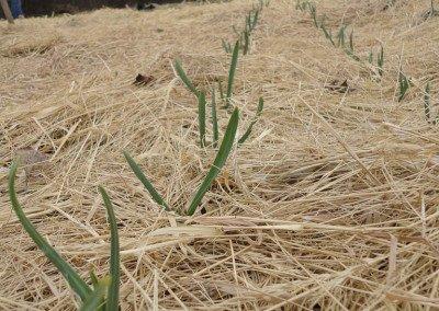 11 early garlic
