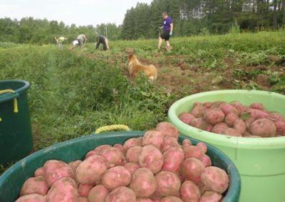 first potato dig