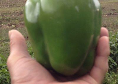 huge peppers