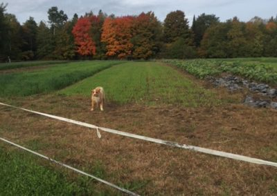 Basil in late season feild