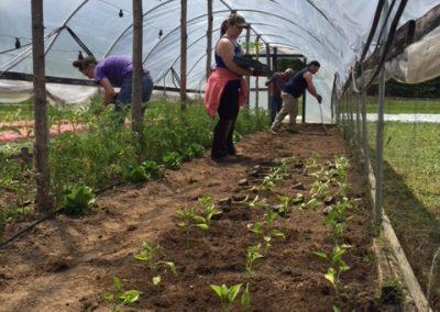 Pepper planting[16404]