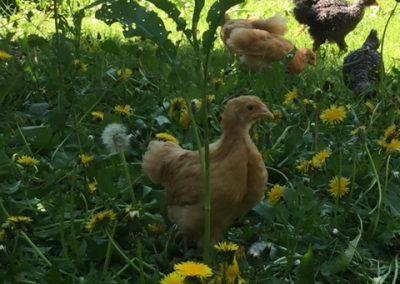 chicks settling in[16375]