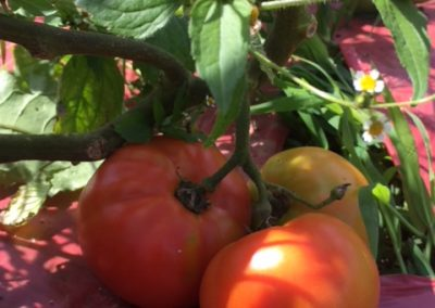 Tomatoes turning[16801]