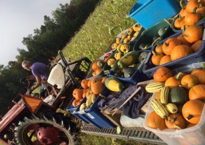 squash harvest (2)[16953]