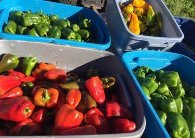 sweet pepper variety[17012]